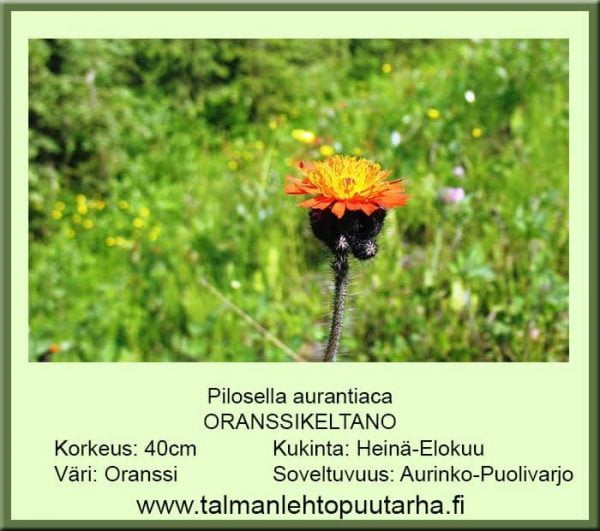 Pilosella aurantiaca Oranssikeltano