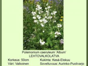 Polemonium caeruleum 'Album' Lehtovalkolatva