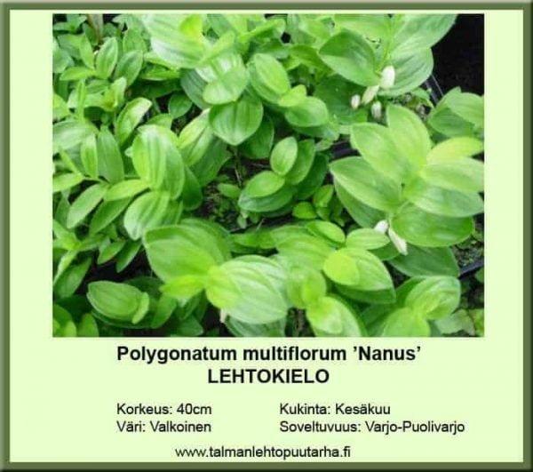 Polygonatum multiflorum 'Nanus' Lehtokielo