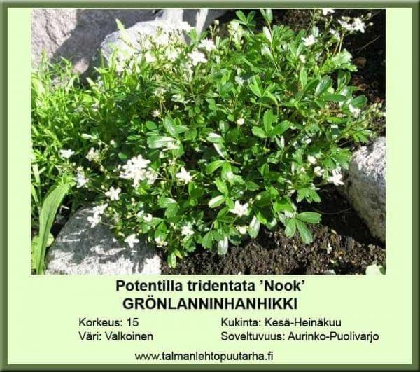 Potentilla tridentata 'Nuuk' Grönlanninhanhikki