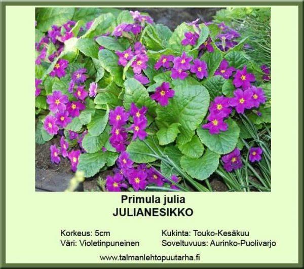 Primula julia Julianesikko