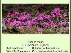 Primula rosea Etelänkevätesikko