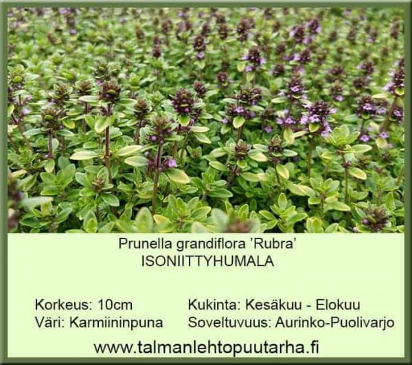Prunella grandiflora 'Rubra' Isoniittyhumala