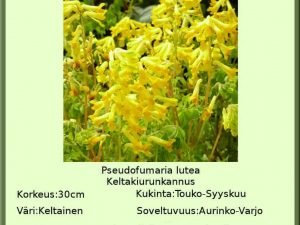 Pseudofumaria lutea Keltaurunkannus