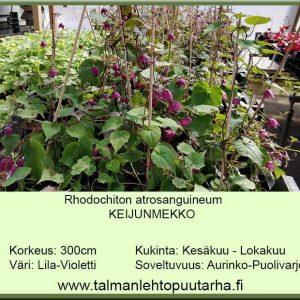 Rhodochiton atrosanguineum