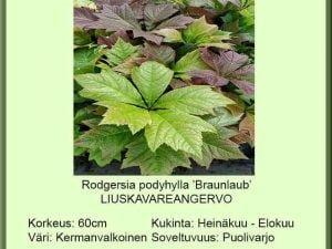 Rodgersia podophylla 'Braunlaub' Liuskavaleangervo