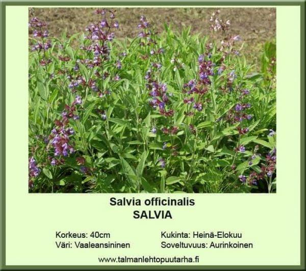 Salvia officinalis moniv. - Salvia 1