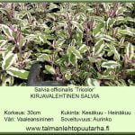 Salvia officinalis 'Tricolor' moniv. Kirjavalehtinen salvia