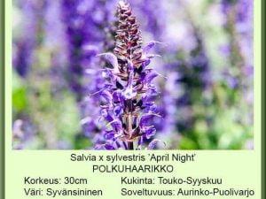 Salvia x sylvestris 'April Night' Loistosalvia