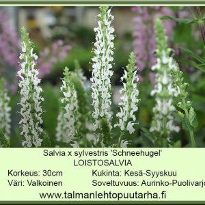 Salvia x sylvestris 'Sneehugel' Loistosalvia