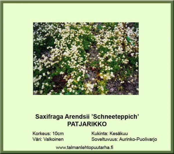 Saxifraga Arendsii 'Schneeteppich' Patjarikko