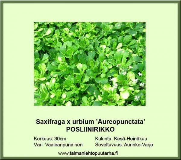 Saxifraga x urbium 'Aureopunctata' Posliinirikko