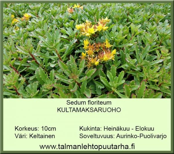 Sedum floriferum Kultamaksaruoho