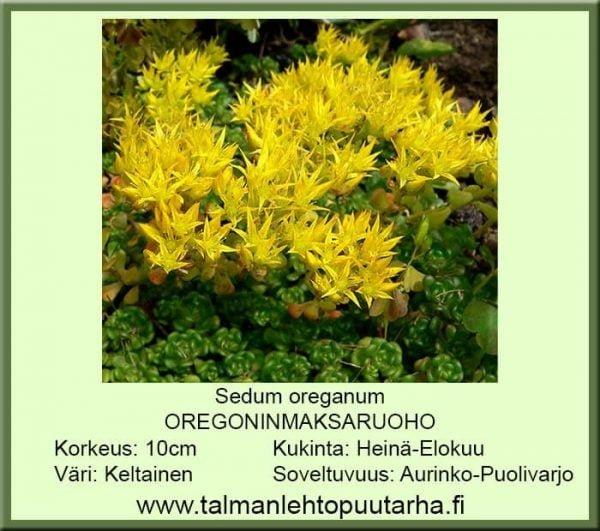 Sedum oreganum Oregoninmaksaruoho