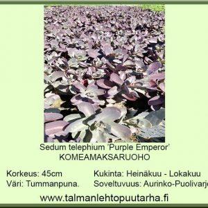 Sedum telephium 'Purple Emperor' Komeamaksaruoho