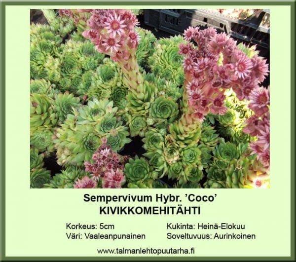 Sempervivum Hybr. 'Coco' Kivikkomehitähti
