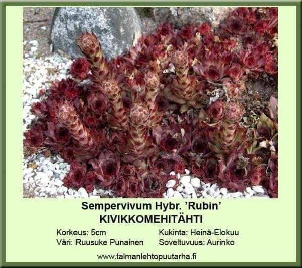 Sempervivum Hybr. 'Rubin' Vikikkomehitähti