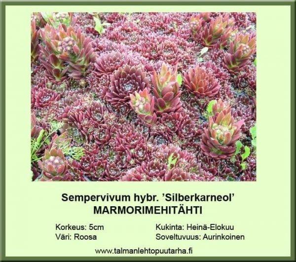 Sempervivum hybr. 'Silberkarneol' Marmorimehitähti