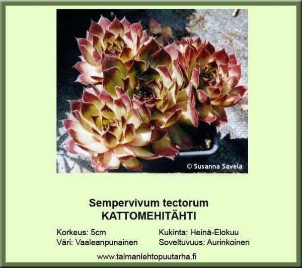 Sempervivum tectorum Kattomehitähti