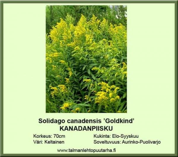 Solidago canadensis 'Goldkind' Kanadanpiisku