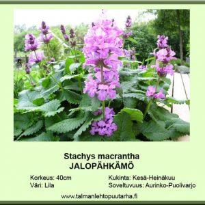 Stachys macrantha Jalopähkämö