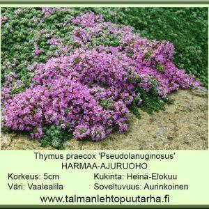 Thymus praecox 'Pseudolanuginosus' Harmaa-ajuruoho
