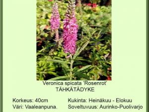 Veronica spicata 'Rosenrot' Tähkätädyke
