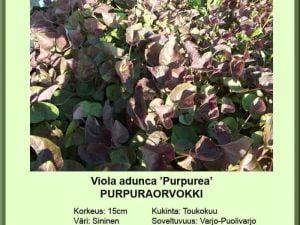 Viola adunca 'Purpurea' Purppuraorvokki