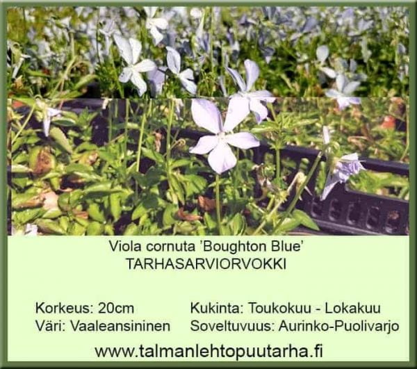 Viola cornuta 'Boughton Blue' Tarhasarviorvokki
