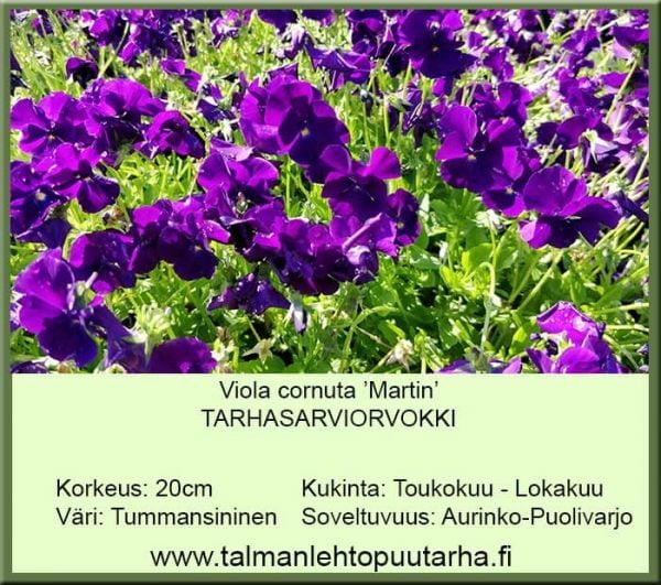Viola cornuta 'Martin' Tarhasarviorvokki