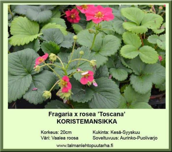 Fragaria x rosea 'Toscana' Koristemansikka