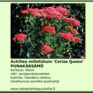 achillea millefolium 'Cerise Queen' Punakarsamo