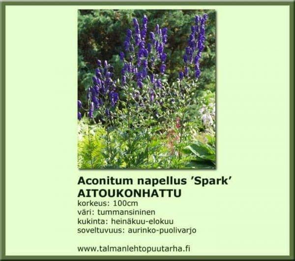 Aconitum n. 'Spark' - Aitoukonhattu 1