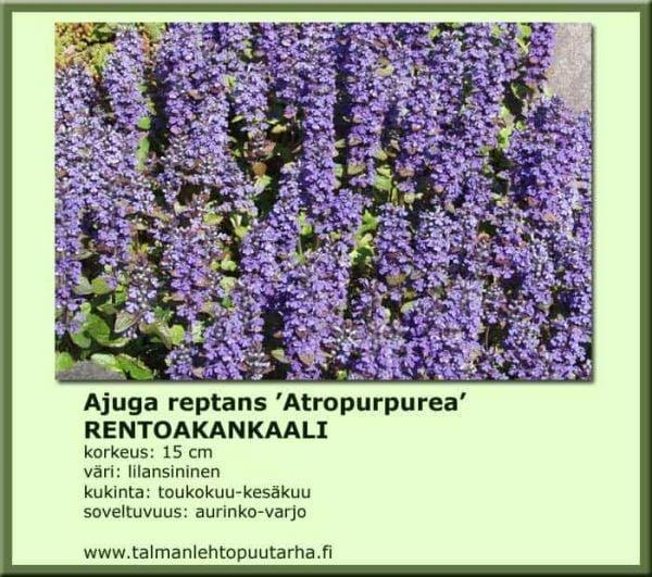 Ajuga r. 'Atropurpurea' - Rönsyakankaali 1