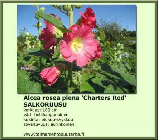 Alcea rp. 'Chaters red' - Tarhasalkoruusu 1