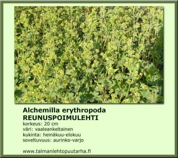 Alchemilla erythropoda - Reunuspoimulehti 1