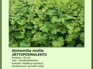 alchemilla mollis