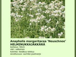 Anaphalis margaritcea 'Neuschnee'