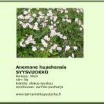 Anemone hupehensis 'September Charm'