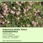Antennaria dioica 'Rubra' Kissankäpälä