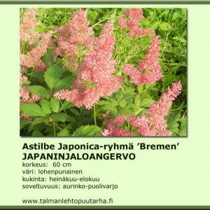 Astilbe Japonica-Hybr. 'Bremen'