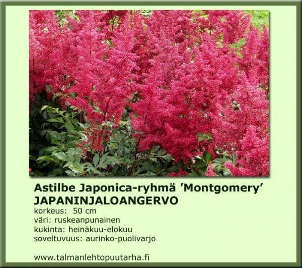 Astilbe Japonica-Hybr.'Montgomery' Japaninjaloangervo