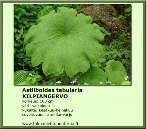 Astilboides tabularis Kilpiangervo