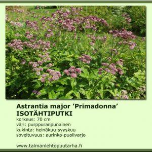 Astrantia major 'Primadonna' Isotähtiputki