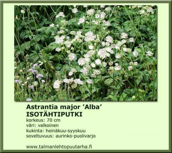 Astrantia major 'Alba' Isotähtiputki