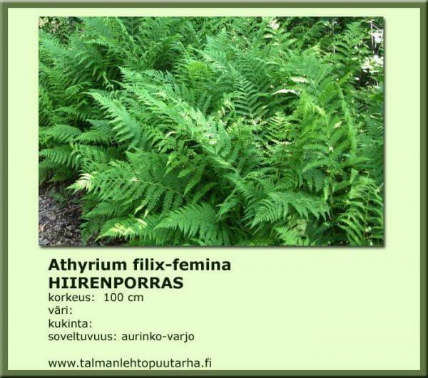 Athyrium filifemina Hiirenporras