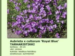 Aubrieta x cultorum 'Royal Blue' Tarharistikki