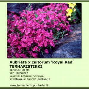 Aubrieta x cultorum 'Royal Red' Tarharistikki