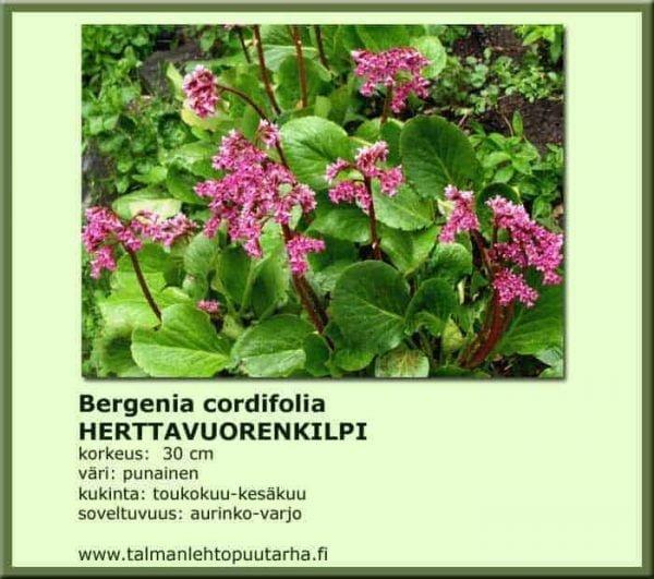 Bergenia cordifolia Herttavuorenkilpi