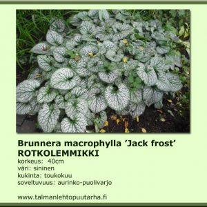 Brunnera macrophylla 'Macr. Jack Frost' Rotkolemmikki